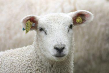 Foto thumbnail: Årets sauemerketilbud til KLF-produsenter